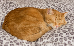 Ginger tabby cat comfortably asleep on a soft bed Stock Images