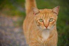 Ginger Tabby Cat con los ojos verdes Fotos de archivo libres de regalías