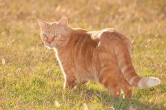 Ginger tabby cat Stock Image