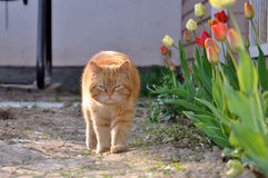 Ginger tabby cat Stock Image