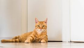 Ginger Tabby Cat Laying domestique mignon sur le plancher photo stock