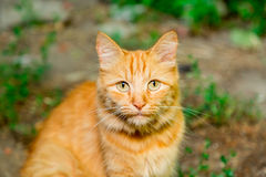 Ginger tabby cat looking at the camera. Close-up Royalty Free Stock Photography