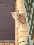 Ginger Tabby Cat looking out from a Balcony Stock Photography