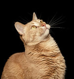 Ginger Cat on Black Background Looking Up Stock Photos