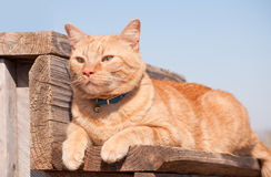 Ginger tabby cat resting on a wooden step Stock Photography