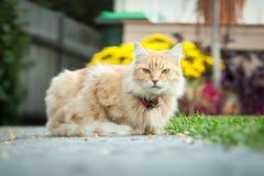 Ginger Tabby Cat Sitting framme av hennes hus Royaltyfri Foto