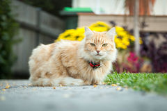 Ginger Tabby Cat Sitting in Front of Her House Royalty Free Stock Photo