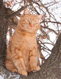 Ginger tabby cat sitting high up in a tree Royalty Free Stock Image
