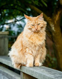 Ginger Tabby Cat Sitting on Suburban Fence Royalty Free Stock Photography