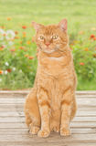 Ginger tabby cat sitting on wooden porch Stock Photos