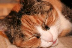 Ginger tabby cat sleeping royalty free stock photo