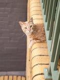 Ginger Tabby Cat som ut ser från en balkong Arkivbild