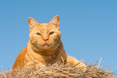 Ginger tabby cat in sunshine on top of a hay bale Royalty Free Stock Images