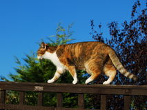 Ginger tabby cat walking on garden fence. Side view of a ginger tabby cat walking along on a garden fence stock photos