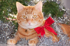 Ginger tabby cat wearing a red bow Stock Images
