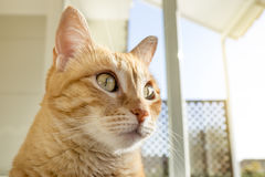 Ginger Tabby  cat on the windows Royalty Free Stock Photo