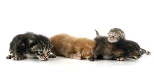 Ginger and tabby  kitten Stock Photo