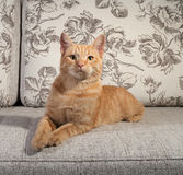 Ginger tabby kitten lying on couch Stock Photography