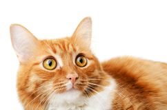 Ginger tabby lying surprised cat stock photography