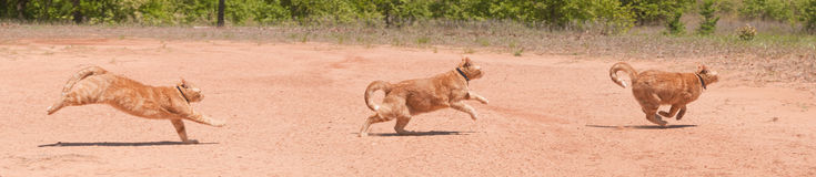 Ginger tabby running across red sand Royalty Free Stock Photo