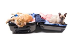 Ginger tabby and Siamese cat on an open luggage Stock Photos
