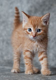 Ginger tiger-kitten. A ginger blue-eyed kitten, very angry Royalty Free Stock Photography