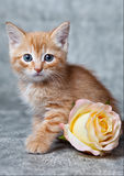 Ginger tiger-kitten. A ginger blue-eyed kitten, with a rose Stock Photo