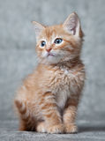 Ginger tiger-kitten. A ginger blue-eyed kitten, against grey background Stock Photography