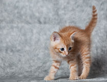 Ginger tiger-kitten. A ginger blue-eyed kitten, very angry Stock Image