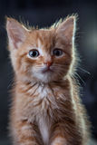 Ginger tiger-kitten. A ginger blue-eyed kitten, against dark background Royalty Free Stock Photography