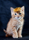 Ginger tiger-kitten with a feather. A ginger blue-eyed kitten, against dark background with a feather Stock Photography
