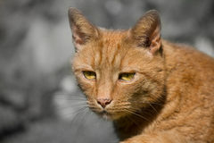 Ginger tom cat Royalty Free Stock Photo