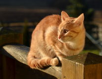 Ginger tom cat Royalty Free Stock Photography