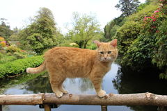 A Ginger Tom Cat. Ginger Tom Cat standing on a wooden railing of a bridge over a river Royalty Free Stock Photos