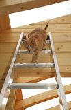 Ginger Tom Descending Ladder Royalty Free Stock Photos