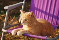 Ginger Tom on Purple Garden Chair Royalty Free Stock Images