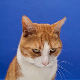 Ginger tomcat Royalty Free Stock Photo