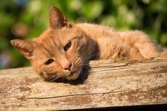 Ginger tomcat Stock Photos