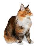 Ginger tortie Maine Coon cat looking at right. Ginger tortie Maine Coon cat looking at right isolated on white background Royalty Free Stock Images