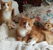 Ginger Trio image stock