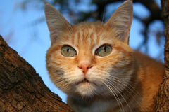 Ginger Tubby in Tree. Ginger Cat sitting in a tree Stock Image