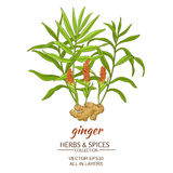 Ginger vector illustration. Ginger plant vector illustration on white background Royalty Free Stock Photography