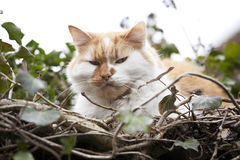 Ginger and white cat Royalty Free Stock Photos