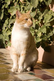 Ginger and white cat Royalty Free Stock Images