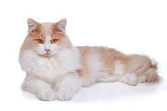 Ginger White Cat isolated over white background Royalty Free Stock Photo