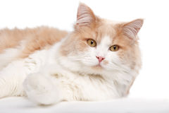 Ginger White Cat isolated over white background. Stock Image