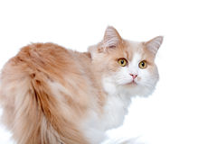 Ginger White Cat isolated over white background. Stock Photos