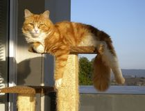 Ginger and White cat with long fluffy tail resting on stool with paw hanging down. royalty free stock photos