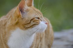Ginger and white cat, looking to right, stock images