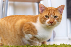 Ginger and white cat looking at viewer Stock Photo